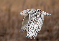 Snowy owl flying over Boundary Bay in British Columbia, Canada