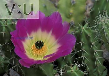 Lady Finger Cactus ,Echinocereus pentalophus,, Texas, USA.