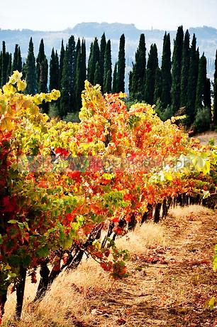 Autumn vineyard scene in Chianti, Tuscany, Italy