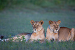 Tanzania, Ngorongoro Conservation Area, Ndutu, two lionesses resting at dusk