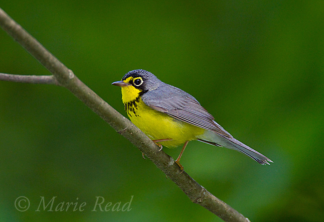 Canada Warbler (Wilsonia canadensis) male in breeding plumage, spring, New York, USA