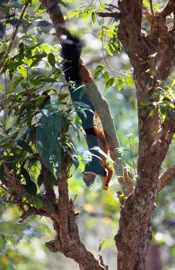 20080131_Periyar, India_ A Malabar giant squirrel cruises the forrest in the Periyar Wildlife Sancuary in the Southern Indian state of Kerala.  Photographer: Daniel J. Groshong/Tayo Photo Group