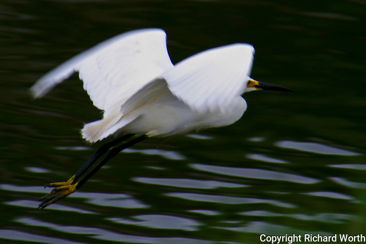 Snowy egret in flight at Hayward Regional Shoreline along San Francisco Bay.