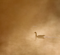 A Canada goose swims on the Yellowstone River at sunrise.