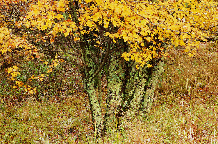 Tree, Shenandoah NP, VA   35mm image on Fuji Velvia film