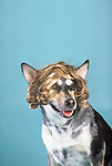 Mixed breed dog wearing a wig in the studio Shopping cart has 3 Tabs:<br />