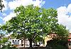 Baum in Vendersheim vor der Evangelischen Kirche