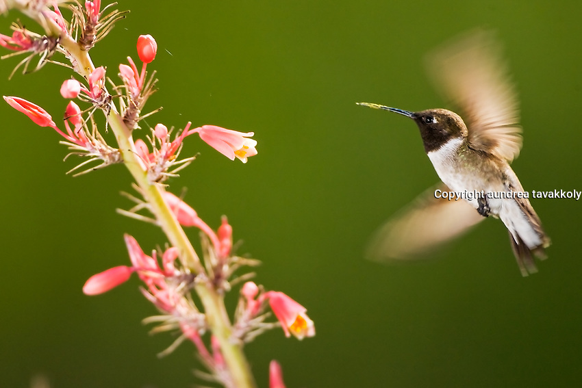 Black chinned humming bird