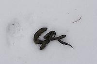 Losung, Kot von einem Marder im Schnee, Martes spec., marten