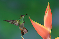 Rufous-tailed Hummingbird, Amazilia tzacatl, adult in flight feeding on Heliconia Flower, Central Valley, Costa Rica, Central America