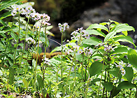 Beautiful Robin's Plaintain wildflowers looking over a creek at the smoky mountain national park in spring - Free Nature Stock Image.