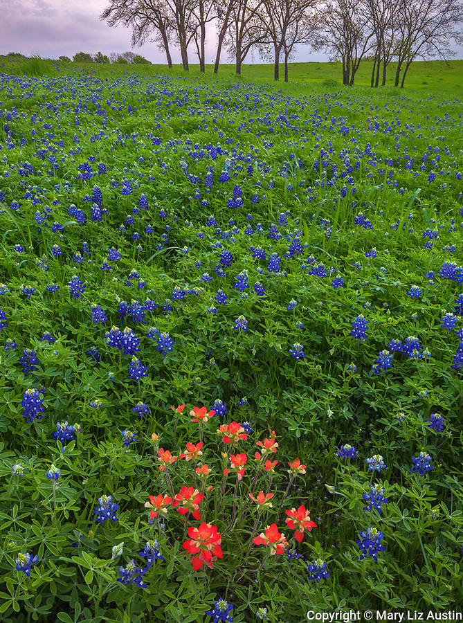 Ellis County, Texas: Paintbrush (Castilleja indivisa) in a field of Texas bluebonnets (Lupinus texensis) near Ennis.