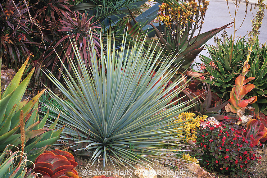 gray leaf, spike foliage Yucca rostrata in drought tolerant Southern California succulent garden, design by Jeff Moore