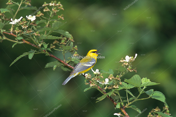 Blue-winged Warbler (Vermivora pinus), male singing from a blackberry bramble (Indiana)