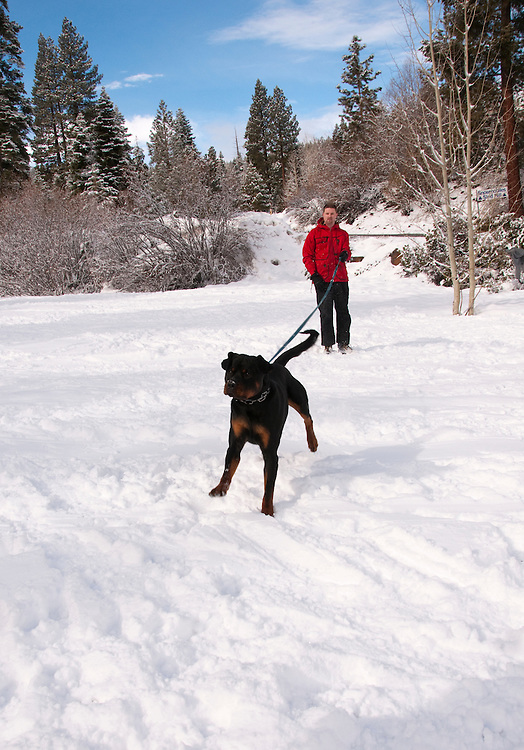 California, Lake Tahoe: Young Rottweiler dog 15 month old in the snow at  North Lake Tahoe Regional Park.  Photo copyright Lee Foster.  Photo # cataho107587