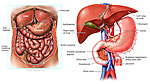 This stock medical exhibit depicts the anatomy of the duodenum and surrounding abdominal structures using two illustrations. The first graphic is an anterior (front) cut-away view of the abdominal region displaying the following organs: the liver, gall bladder, large intestine (colon), pancreas, and small intestine. The second illustration pictures the deeper anatomical structures of the abdomen, labeling the right and left lobes of the liver, aorta, duodenum, greater duodenal papilla, jejunum, vena cava and superior mesenteric blood vessels.