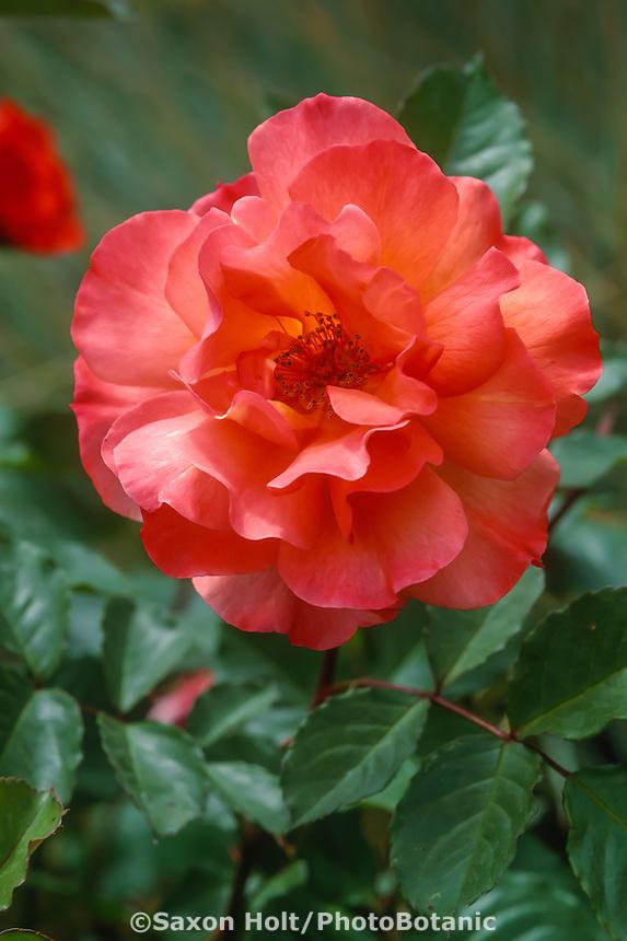 Rose 'Westerland', orange, apricot flower color