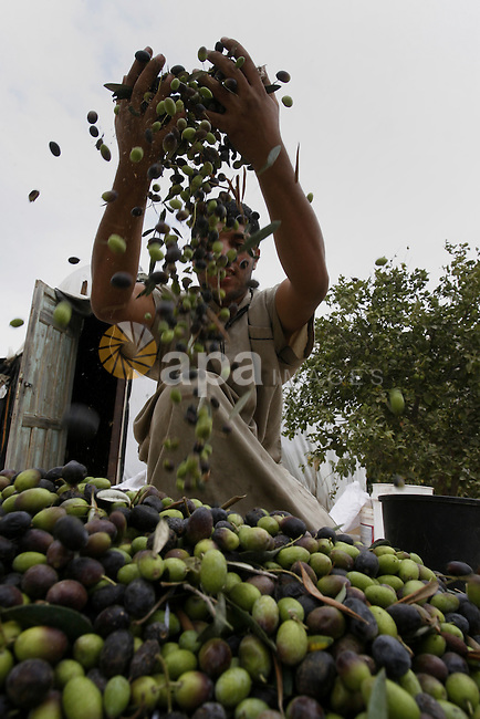 A Palestinian man harvests olives during harvest season in Rafah in southern Gaza Strip on Oct. 11, 2014. Farmers are harvesting their olives from mid-October until the start of November this year. Photo by Abed Rahim Khatib