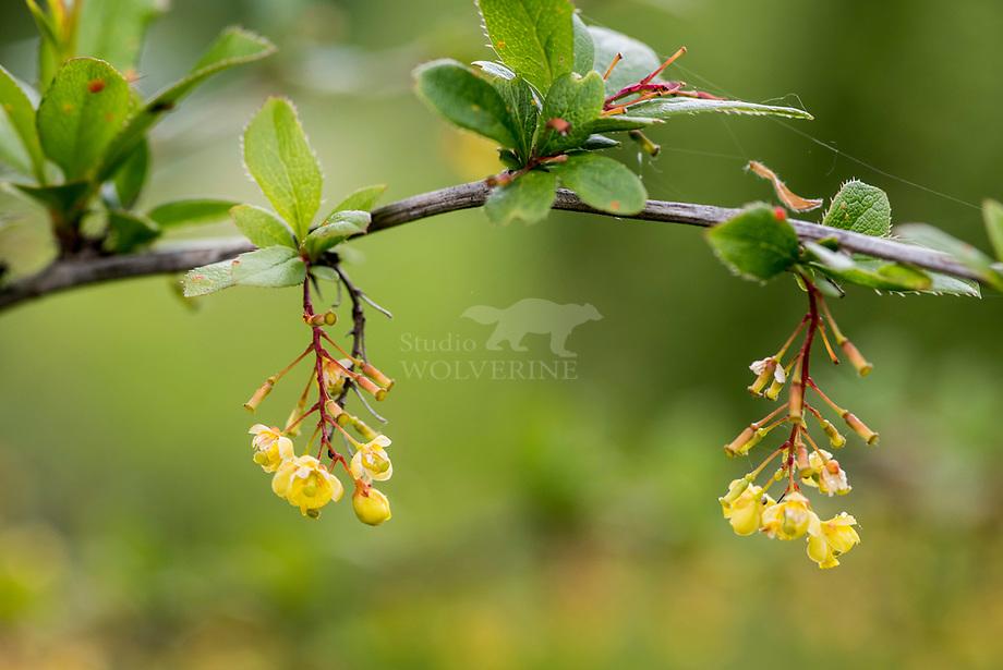Zuurbes (Berberis vulgaris)