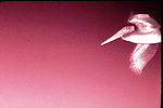Pelican, fla. , abstract, pink,