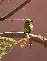 Stock image of little bee-eater sitting on a tree branch.