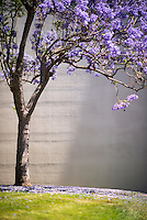Purple and pink flowering jacaranda trees, May 29, 2013. (Photo by Marc Campos, Occidental College Photographer)