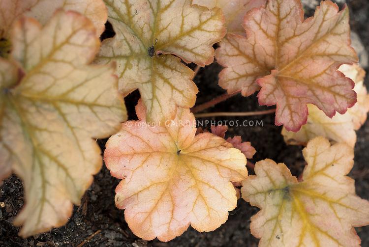 Heuchera 'Topaz Jazz', shade garden perennial foliage plant with pretty coral colored leaves