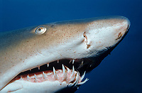 sand tiger shark, grey nurse shark, Carcharias taurus, North Carolina, USA, Atlantic Ocean