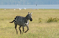 A Grant's Zebra, Equus quagga boehmi, runs near the shore of Lake Nakuru in Lake Nakuru National Park, Kenya. In the background are Greater Flamingoes, Phoenicopterus ruber.
