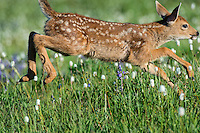 Columbian black-tailed deer (Odocoileus hemionus columbianus) fawn running/jumping through subalpine meadow covered with American Bistort wildflowers.  Pacific Northwest.  Summer.