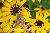 04001-00211 Regal Moth (Citheronia regalis) on Black-eyed Susan (Rudbeckia hirta) Marion Co.  IL