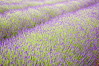 Snowshill Imperial Gem lavender field, Worcestershire, United Kingdom The Cotswolds