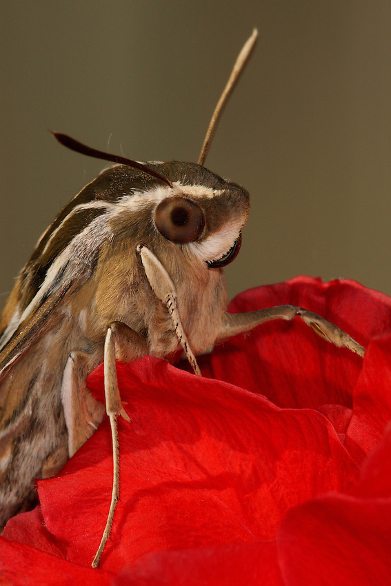 White-lined Sphinx moth resting on hibiscus flower.