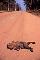 Threat to wildlife, dead monkey on the road, Alta Floresta region, Amazon rainforest, Mato Grosso State, Brazil.
