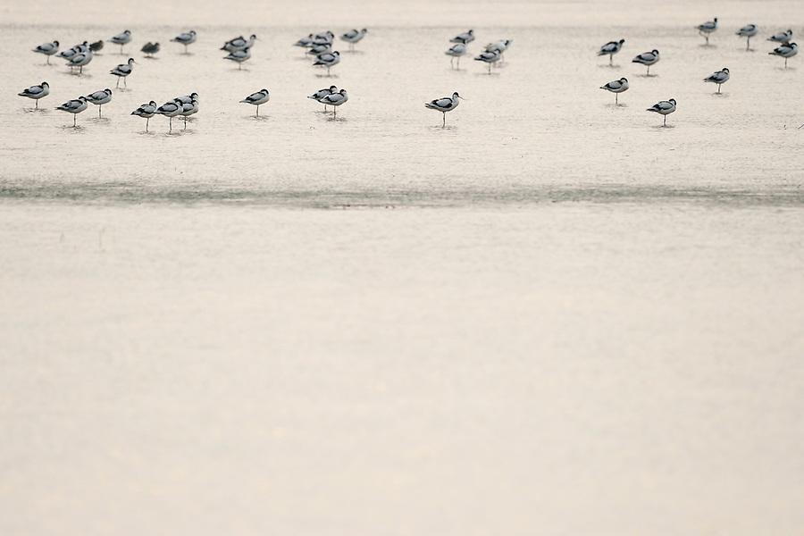 Avocets, Recurvirostra avosetta, Nansha wetland reserve, Guangdong province, China