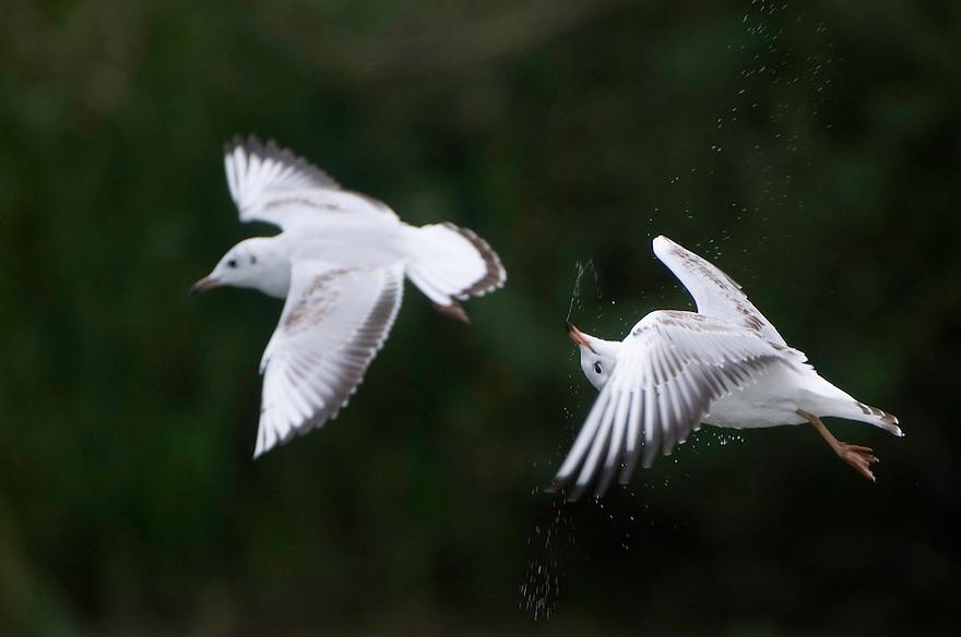 Mission: Black Storks River Elbe Germany; Biosphärenreservat Niedersächsische Elbtalaue; Biosphere Reserve Middle Elbe; Black-headed Gull; Larus ridibundus; Lachmoewe