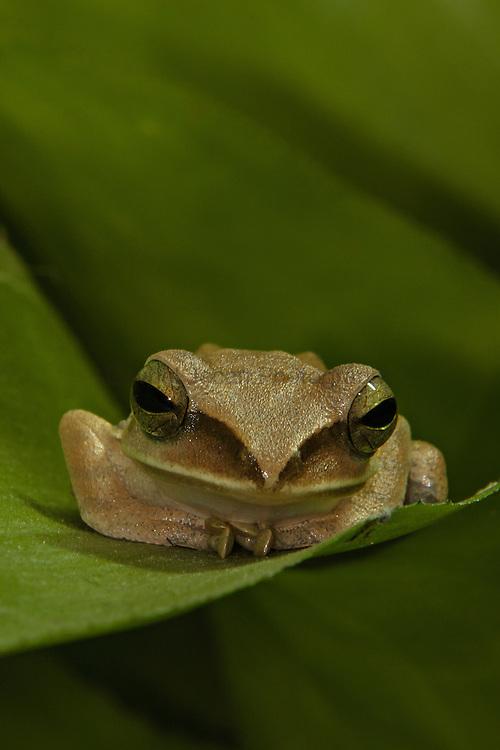 White-lipped treefrog (Polypedates leucomystax)
