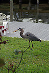My in laws have a great blue heron, Slim, that comes to their house each morning for breakfast.  Slim just caught a chicken gizzard thrown to him.