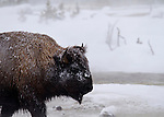 Unflappable Buffalo