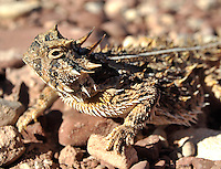 Texas Horned Lizard. State reptile of Texas. Also my first horned lizard. I have since added the desert species to my list.