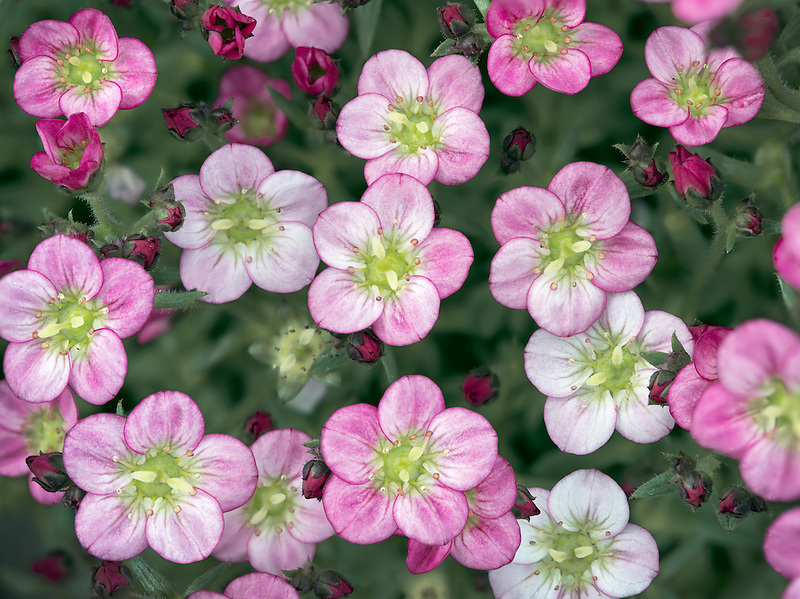 Close up of Touran Neon Rose Saxifrage