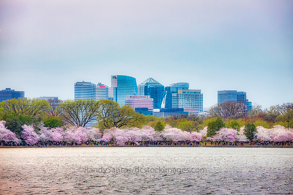 Rosslyn Northern Virginia Cherry Blossoms blooming around the Tidal Basin, National Mall , and US Capitol in Washington DC symbolize the natural beauty of our Nation's Capital City and has become part of Washington DC's rite of Spring. Landmarks include the Jefferson Memorial, Washington Monument, and US Capitol. A popular tourist attraction and travel destination for many visiting Washington DC.