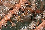 Periclimenes spp, Iridescent shrimp complex, Roatan