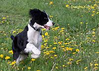 SH25-788z English Springer Spaniel Dog running