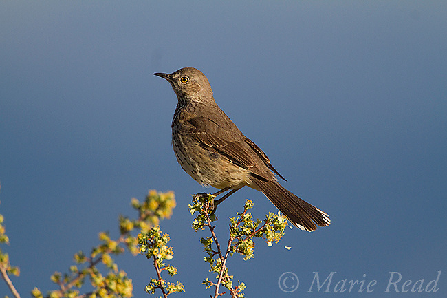 Sage Thrasher (Oreoscoptes montanus), perched on flowering bitterbrush in spring, Mono Lake Basin, California, USA