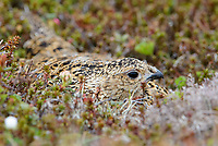 Adult female Willow Ptarmigan incubating its nest. Yukon Delta National Wildlife Refuge, Alaska. June.