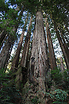 Coast redwoods at Forest of Nisene Marks State Park in Aptos