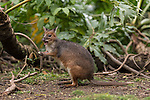 The red-legged pademelon (Thylogale stigmatica) is a species of small macropod found on the northeastern coast of Australia and in New Guinea.
