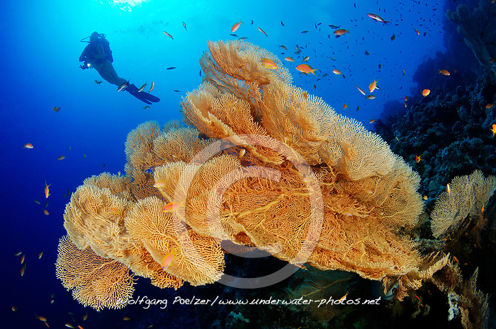 Annella mollis (Syn: Subergorgia mollis oder Subergorgia hicksoni ), Korallenriff mit Riesen Gorgonienfaecher und Taucher unter wasser, Coral reef with Giant Sea Fan, Gorgonian and Scuba diver, under water, Hurghada, Insel Giftun Riff, Rotes Meer, Ägytpen, Giftun Island Reef, Red Sea, Egypt