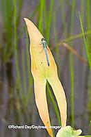 06593-00908 Eastern Pondhawk dragonfly (Erythemis simplicicollis) male perched near wetland, Marion Co., IL
